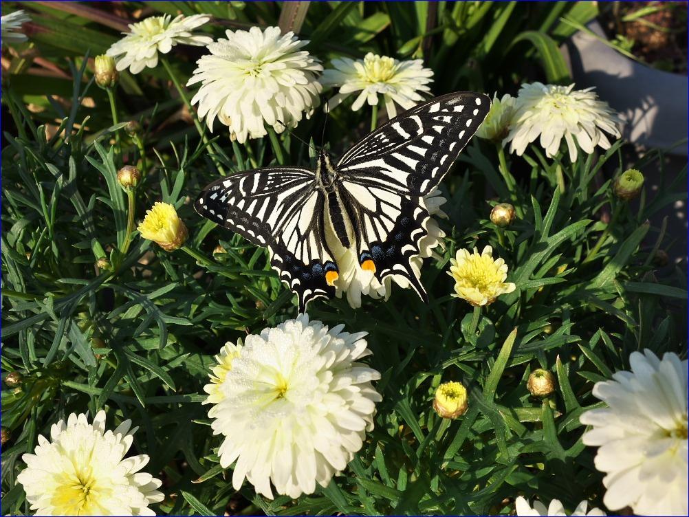 春の訪れ~アゲハチョウの羽化~_d0137627_0503617.jpg