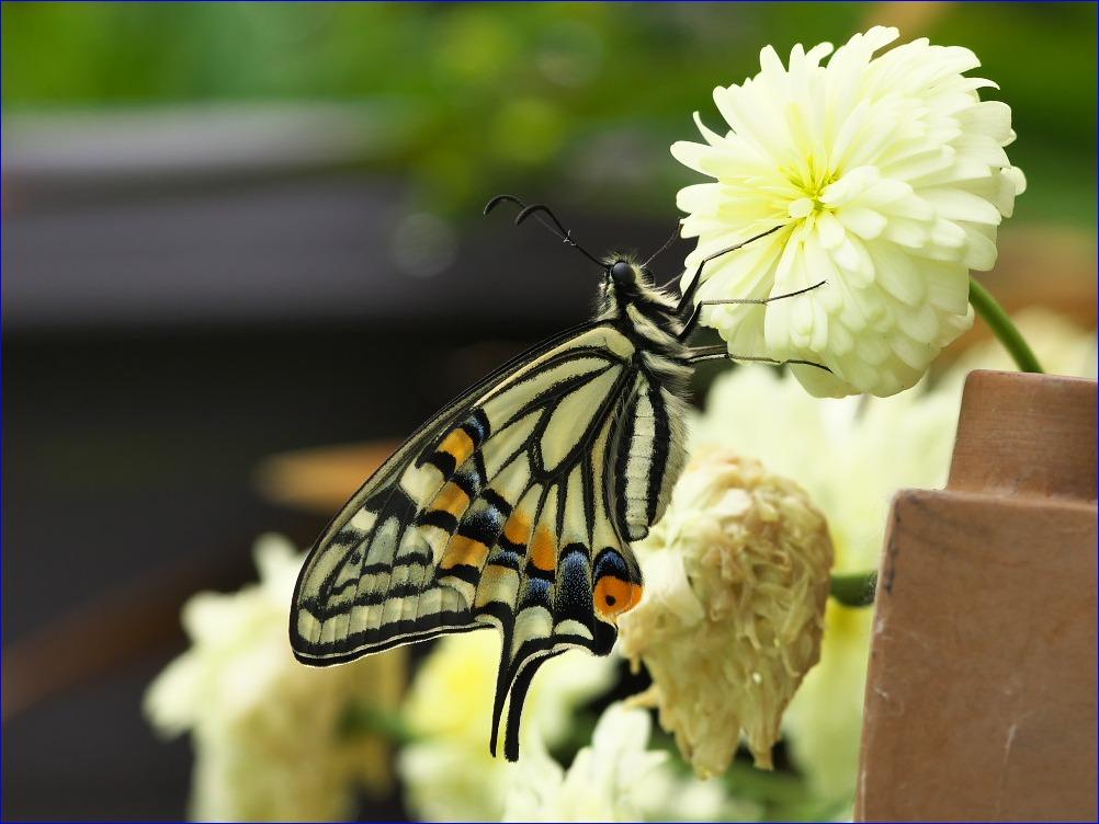 春の訪れ~アゲハチョウの羽化~_d0137627_059347.jpg
