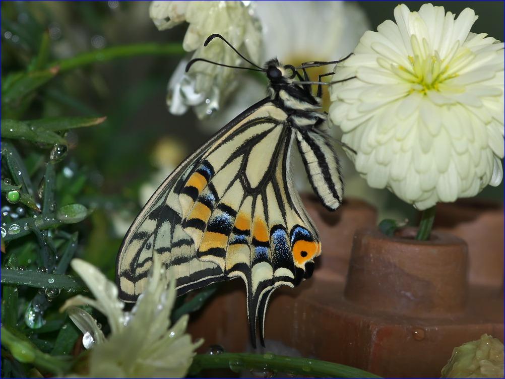 春の訪れ~アゲハチョウの羽化~_d0137627_11412.jpg