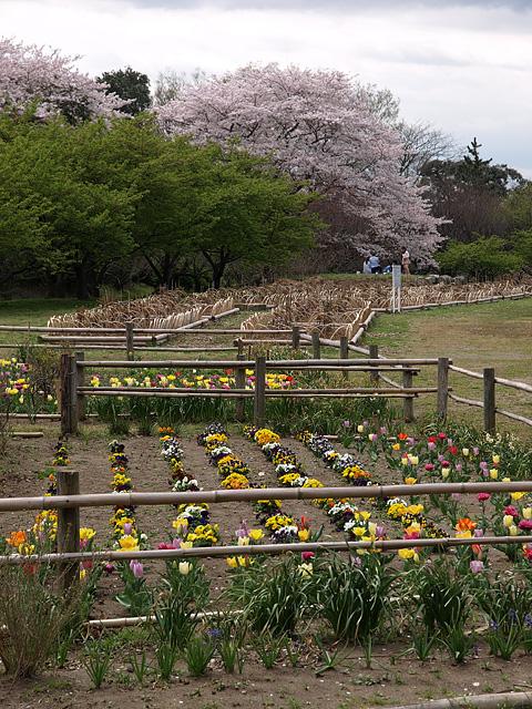 千葉の佐倉の桜:佐倉城址公園 (4/5)_b0006870_11124121.jpg