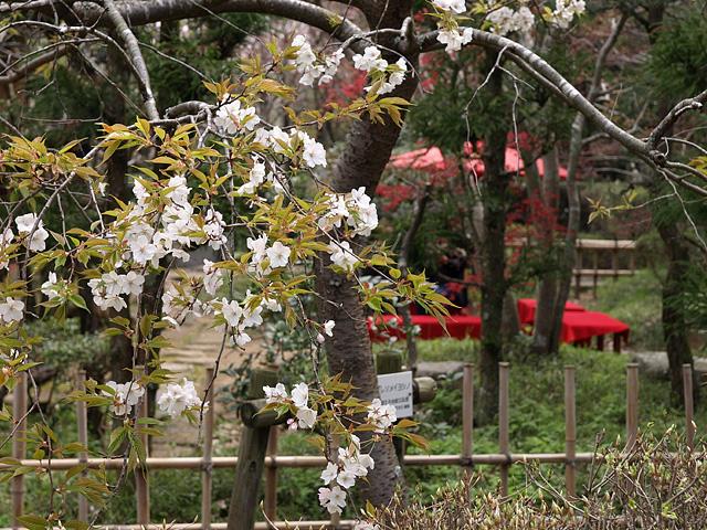 千葉の佐倉の桜:佐倉城址公園 (4/5)_b0006870_1113233.jpg