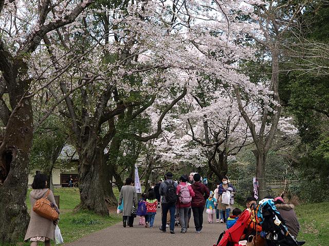 千葉の佐倉の桜:佐倉城址公園 (4/5)_b0006870_1113647.jpg