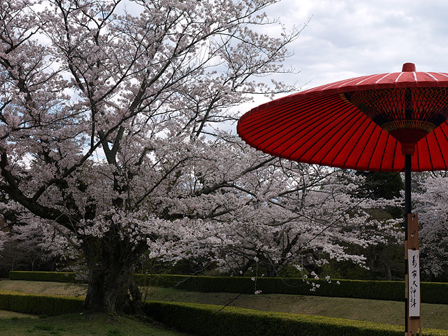 千葉の佐倉の桜:佐倉城址公園 (4/5)_b0006870_11144174.jpg
