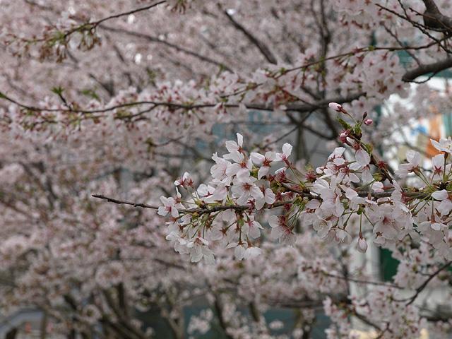 千葉の佐倉の桜:佐倉城址公園 (4/5)_b0006870_1115239.jpg
