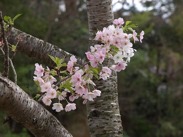 千葉の佐倉の桜:佐倉城址公園 (4/5)_b0006870_11154393.jpg