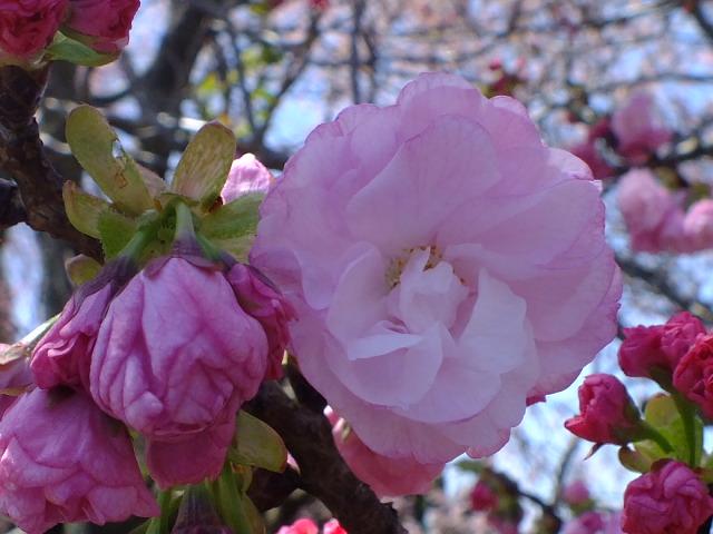 4月5日 三島の桜_e0145782_16115959.jpg