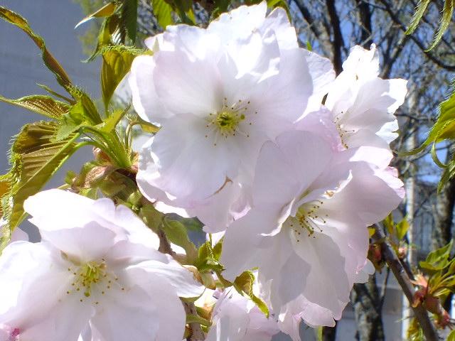 4月5日 三島の桜_e0145782_16124025.jpg