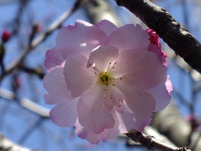 4月5日 三島の桜_e0145782_16142986.jpg