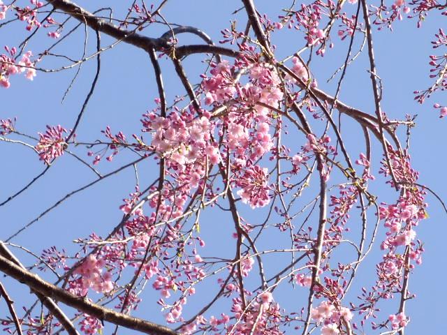 4月5日 三島の桜_e0145782_1693035.jpg