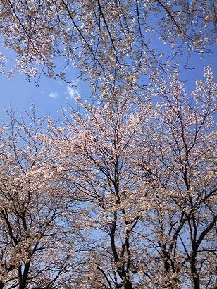 桜_e0202182_957724.jpg