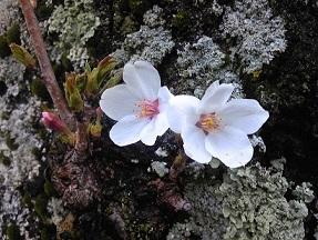 桜_e0202182_9585738.jpg