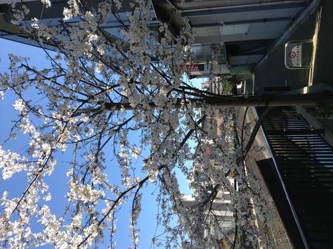 内川桜_a0112393_1223141.jpg
