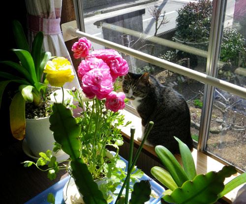 猫部屋のラナンキュラスや、ミャンハウスのプリムラマラコイデスなど_a0136293_17433317.jpg