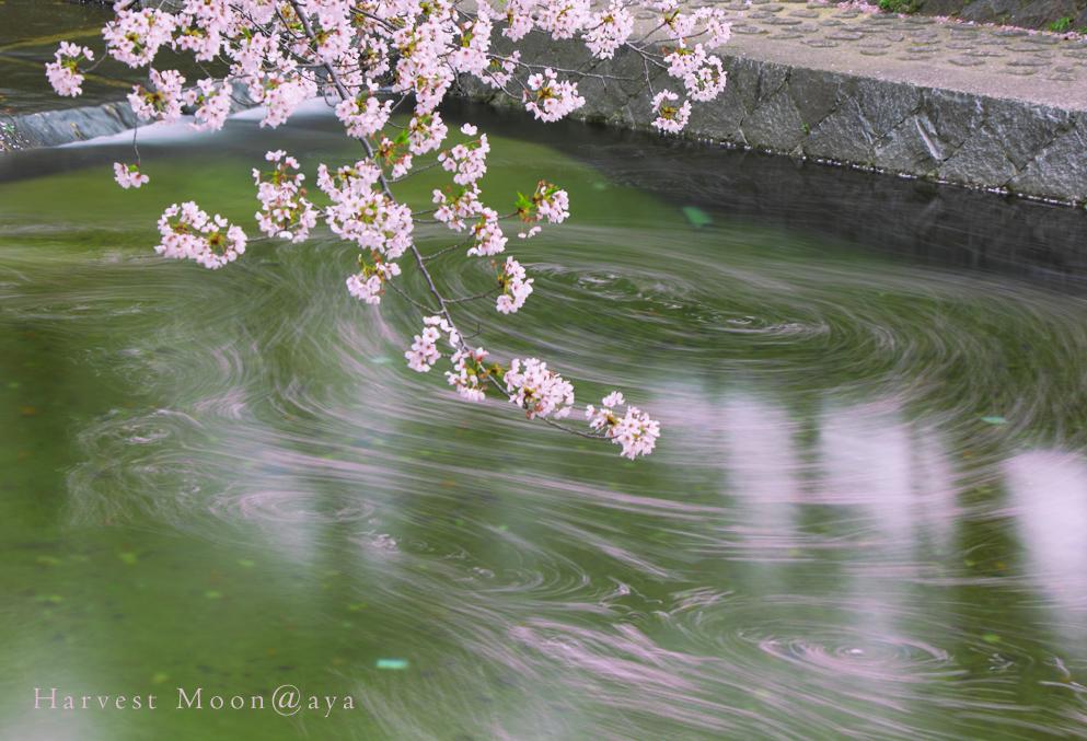 桜のお絵描き_b0208495_2371995.jpg