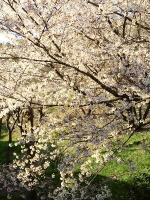桜と初めてづくし_a0045697_2271514.jpg