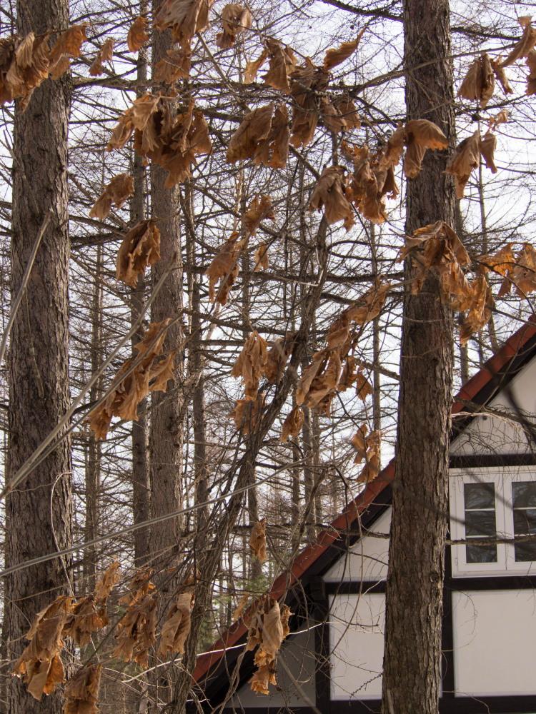 春になって・・ひとまわり成長したカンタベリーの木々たち_f0276498_18570704.jpg