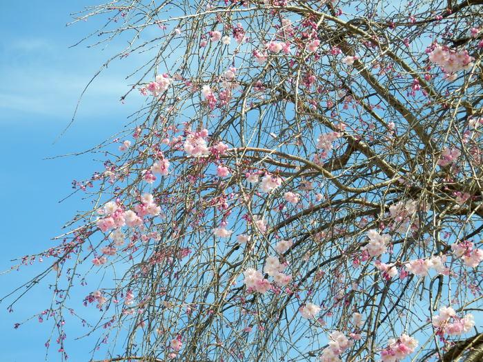 桜が咲いた・里歩き_f0219710_1230957.jpg