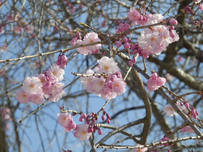 桜が咲いた・里歩き_f0219710_12312324.jpg