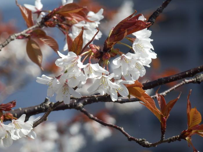 桜が咲いた・里歩き_f0219710_1237121.jpg