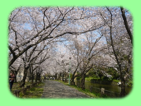 八景水谷公園の桜♪_b0228113_12274518.jpg