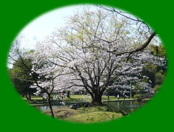 八景水谷公園の桜♪_b0228113_12281929.jpg