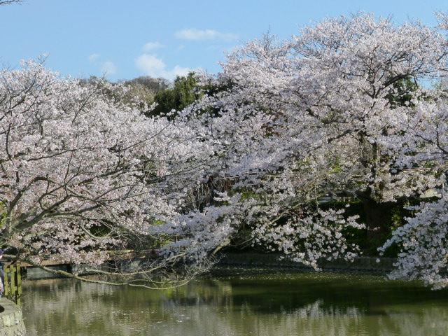 春の鎌倉散歩 桜編_e0237625_15452544.jpg
