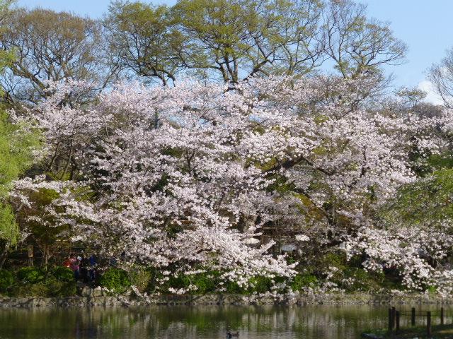 春の鎌倉散歩 桜編_e0237625_1548073.jpg