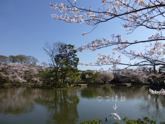 春の鎌倉散歩 桜編_e0237625_15535654.jpg