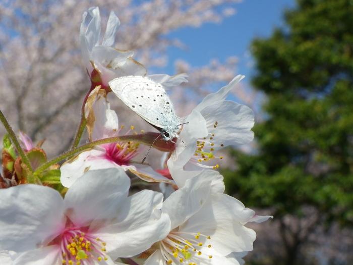 ルリシジミ 春爛漫!_d0254540_165643.jpg