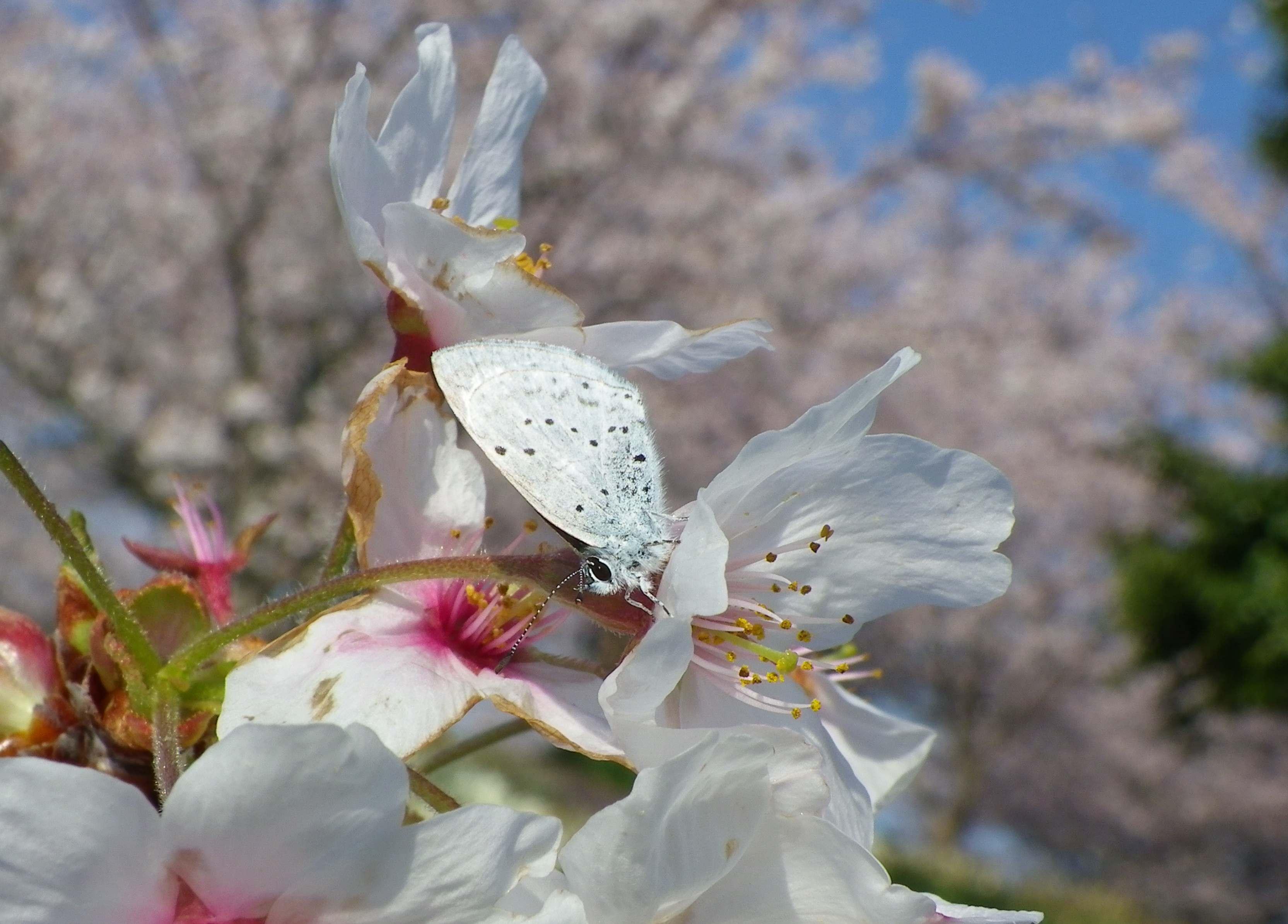 ルリシジミ 春爛漫!_d0254540_1658881.jpg