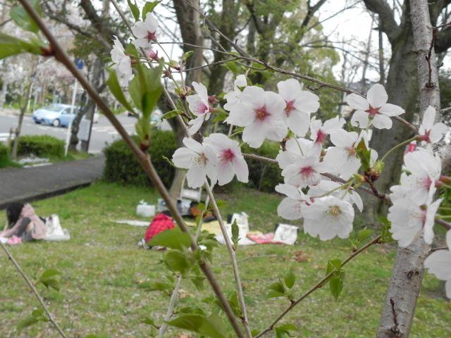 2014豊中花見ロードで写生会_d0076558_22122254.jpg