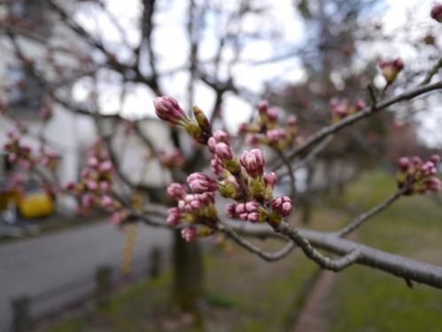 新潟市内には開花宣言が出ました、が…_e0266363_17144860.jpg