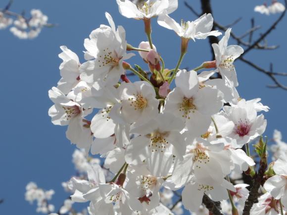 お花見・・・鎌倉_f0158364_14483454.jpg