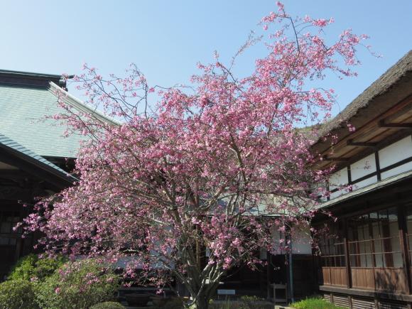 お花見・・・鎌倉_f0158364_14522930.jpg