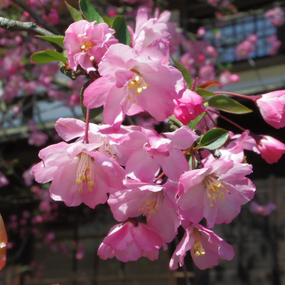 お花見・・・鎌倉_f0158364_14530562.jpg