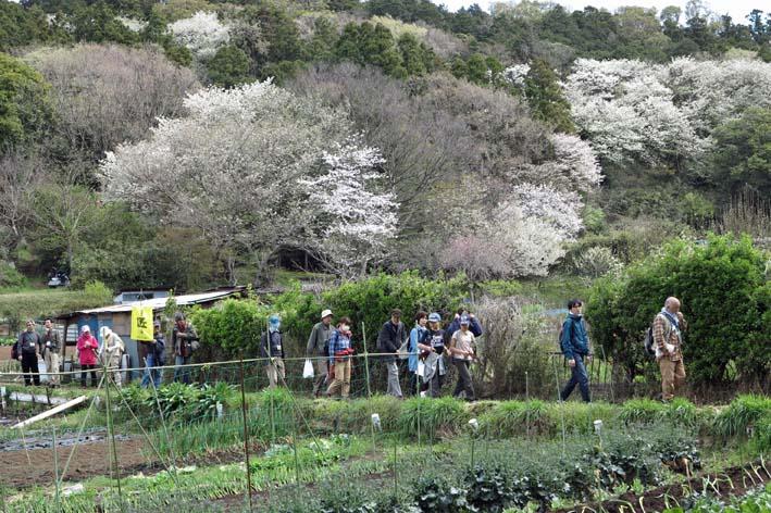 北鎌倉の里山にはヤマザクラが似合う:北鎌倉ウォッチング_c0014967_2023016.jpg
