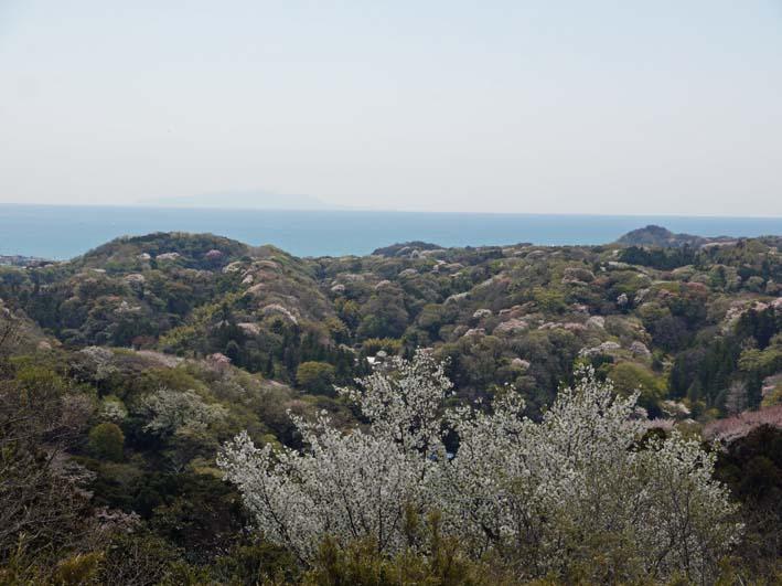 北鎌倉の里山にはヤマザクラが似合う:北鎌倉ウォッチング_c0014967_20354237.jpg