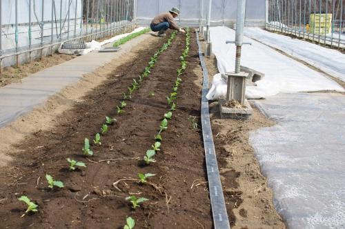 ハウスにコールラビを植える_c0110869_1413325.jpg