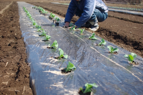 キャベツ、レタスを植える。ニンジン、ホウレンソウ種まき。_c0110869_146481.jpg