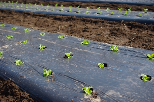 キャベツ、レタスを植える。ニンジン、ホウレンソウ種まき。_c0110869_147171.jpg