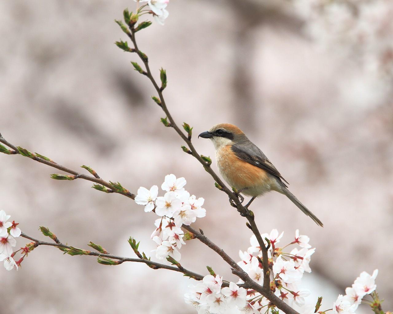 桜とモズ_f0105570_21273833.jpg