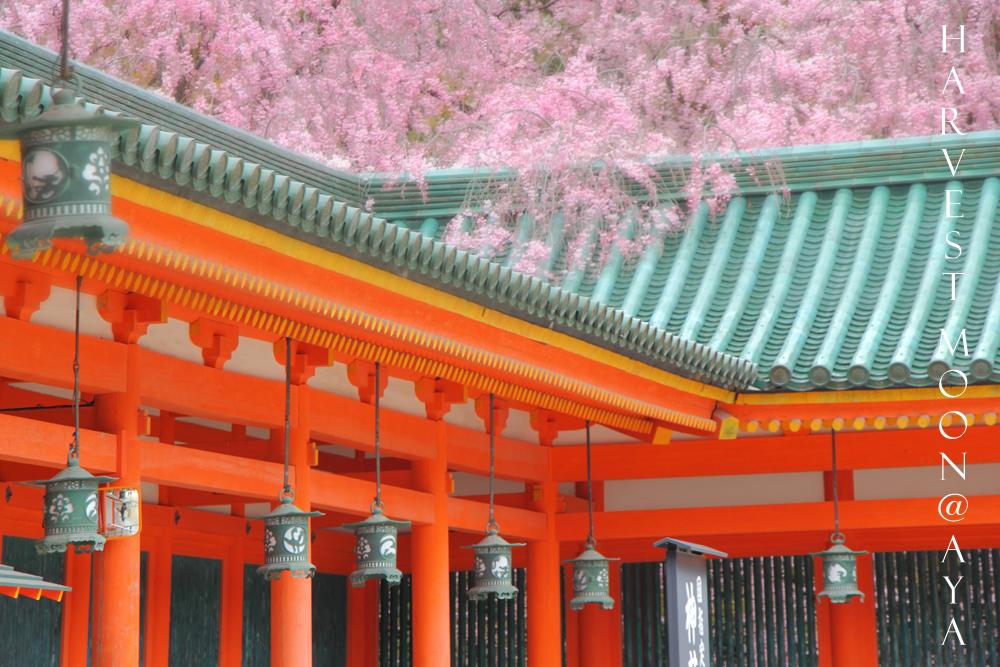 雅な桜_b0208495_2236195.jpg