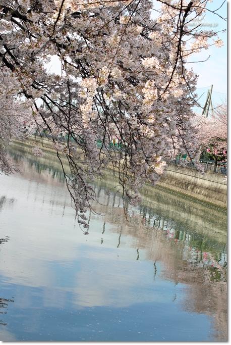 大岡川 桜散歩♪ と タカノフルーツパーラー_f0179404_2145281.jpg