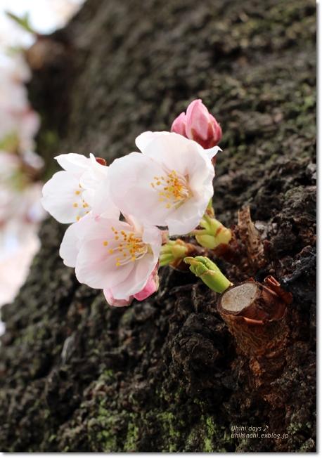 大岡川 桜散歩♪ と タカノフルーツパーラー_f0179404_21455082.jpg