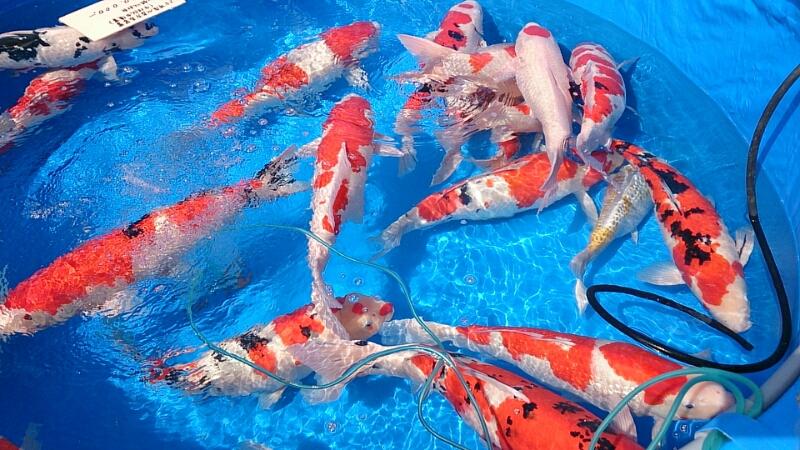 さいたま養殖魚まつり(2014春)_b0298605_1432335.jpg