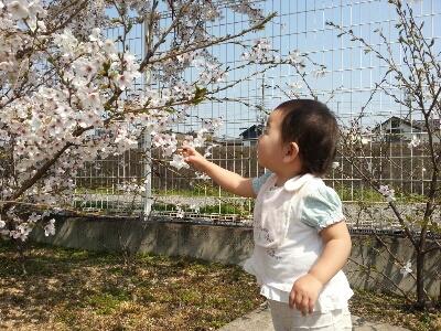 桜_e0136815_1622473.jpg