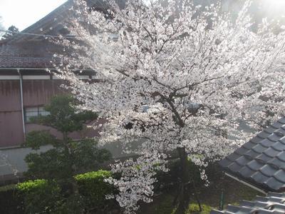 桜の季節_f0289632_1142686.jpg