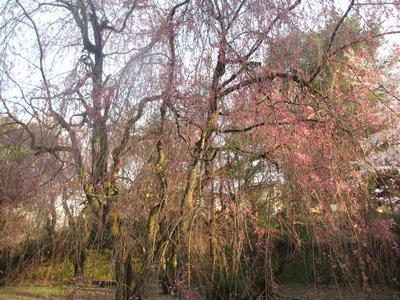 桜の季節_f0289632_1254141.jpg