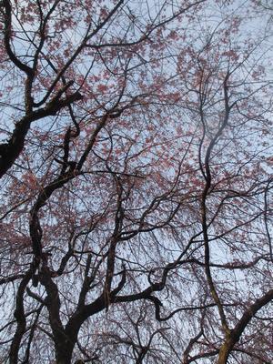 桜の季節_f0289632_1255450.jpg