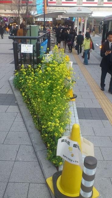 やりました!菜の花満開です_d0155439_21394669.jpg